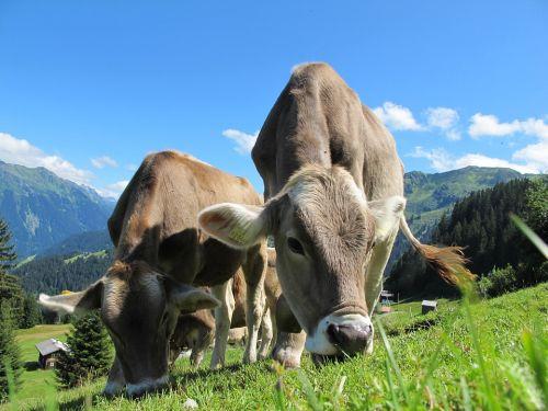 Skup bydła rzeźnego