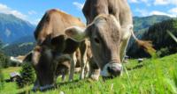 Skup i sprzedaż bydła