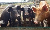 Tuczniki, świnie sprzedaż mazowieckie